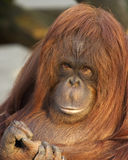 Female Orangutan. This female oragutan was photographed enjoying the sunlight at a UK zoo Royalty Free Stock Photos