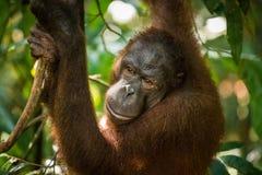 Female Orangutan Stock Images