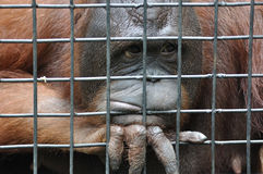 Female orangutan in animal cage feeling sad Royalty Free Stock Photos