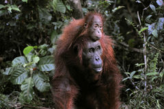 A female of the orangutan with a baby. Royalty Free Stock Photos