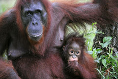 A female of the orangutan with a baby. Royalty Free Stock Images