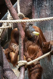Female orangutan with a baby Stock Photos