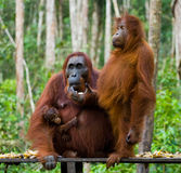 The female of the orangutan with a baby  on the feeding place. Indonesia. The island of Kalimantan Borneo. Royalty Free Stock Photography