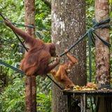 Female orangutan with a baby on the feeding platform Royalty Free Stock Photo