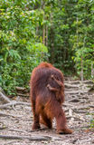 The female of the orangutan with a baby goes into the jungle along the path. Indonesia. The island of Borneo Kalimantan. Royalty Free Stock Images