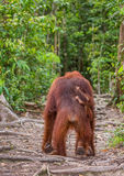 The female of the orangutan with a baby goes into the jungle along the path. Indonesia. The island of Borneo Kalimantan. Stock Photos