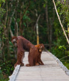 Female of the orangutan with a baby  are going on a wooden bridge in the jungle. Indonesia. Stock Image