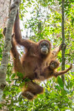 Female orangutan with a baby hanging on a tree Royalty Free Stock Photo
