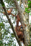 Female orangutan with a baby hanging on a tree Stock Image