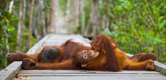 The female of the orangutan with a baby lying on a wooden platform in the jungle. Indonesia. The island of Borneo Kalimantan. Stock Images