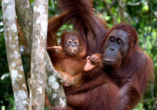 The female of the orangutan with a baby in a tree. Indonesia. The island of Kalimantan Borneo.  Royalty Free Stock Image