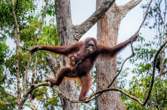 The female of the orangutan with a baby in a tree. Indonesia. The island of Kalimantan Borneo. Stock Photography