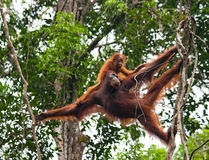 The female of the orangutan with a baby in a tree. Indonesia. The island of Kalimantan (Borneo). An excellent illustration Royalty Free Stock Photos