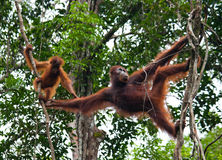 The female of the orangutan with a baby in a tree. Indonesia. The island of Kalimantan (Borneo). Stock Photos