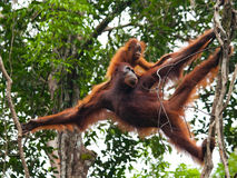 The female of the orangutan with a baby in a tree. Indonesia. The island of Kalimantan (Borneo). Stock Photography