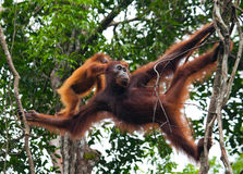 The female of the orangutan with a baby in a tree. Indonesia. The island of Kalimantan (Borneo). Royalty Free Stock Images
