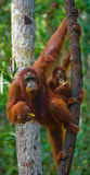 The female of the orangutan with a baby in a tree. Indonesia. The island of Kalimantan (Borneo). An excellent illustration royalty free stock photo