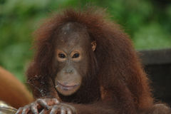 Female orangutan, borneo, asia orange monkey Royalty Free Stock Photography