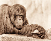 Female orangutan Royalty Free Stock Photo