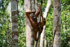 Female of the orangutan with a cub. The female of the orangutan with a cub hangs on a liana in rainforest of Borneo Royalty Free Stock Photo