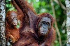 A female of the orangutan with a cub in a native habitat. Bornean orangutan (Pongo o pygmaeus wurmmbii) in the wild nature. Rainforest of Island Borneo Stock Photography