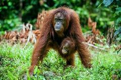 A female of the orangutan with a cub in a native habitat. Bornean orangutan (Pongo o pygmaeus wurmmbii) in the wild nature. Rainforest of Island Borneo Stock Photo