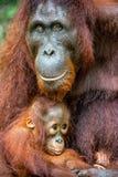 A female of the orangutan with a cub Stock Image