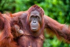 The female of the orangutan feeds a cub.  A female of the orangutan with a cub in a native habitat. pongo pygmaeus wurmmbii. Rainforest of Borneo. Indonesia Royalty Free Stock Photography