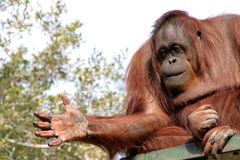 Female orangutan with hand out. Beautiful female orangutan with expression, zoo animal Stock Photography