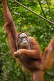 Female orangutan hanging on the rope Royalty Free Stock Photography