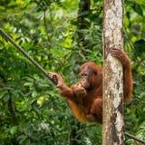 Female orangutan hanging on the rope Royalty Free Stock Images
