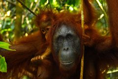 Female orangutan with her baby stock photos