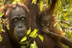 A female orangutan with her baby Royalty Free Stock Image