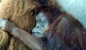 A Female Orangutan Hugs Her Mate Stock Image