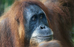 Female orangutan in the jungle of Indonesia royalty free stock photos