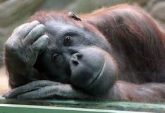 Female orangutan looks thoughtfully through the glass in the zoo Stock Photo