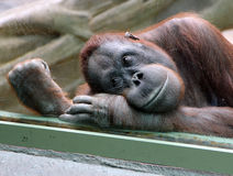 Female orangutan looks thoughtfully through the glass in the zoo Royalty Free Stock Images