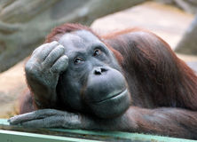 Female orangutan looks thoughtfully through the glass in the zoo Royalty Free Stock Photography