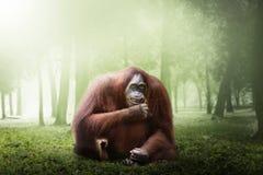 Female orangutan monkey Stock Images