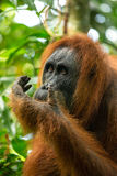 Female orangutan portrait in Gunung Leuser National Park Stock Photography