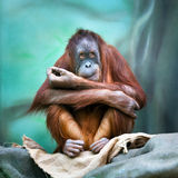 Female orangutan portrait Stock Photography