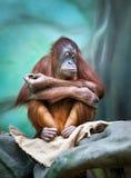 Female orangutan portrait Royalty Free Stock Image