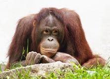 Female of orangutan relaxing (Pongo pygmaeus) Stock Photo
