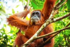 Female orangutan relaxing on tree in tropical jungle. Sumatra, I stock images