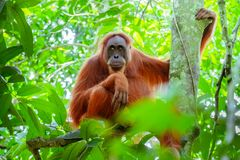 Female orangutan sitting at tree trunk. Sumatra, Indonesia. Female orangutan sitting at tree trunk and looks around against green jungles on background. Great Stock Image