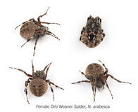 Female Orb Weaver Spider Royalty Free Stock Images