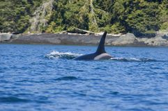Female orca. The orcas are coming very close to the land. We saw orcas which were as close as 2 meters to the rocks Royalty Free Stock Photography