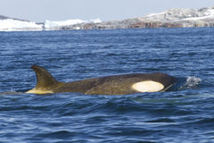 Female orca or killer whale floating along the Antarctic Islands Stock Photo