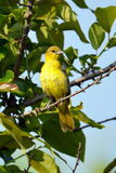 Female Orchard Oriole Stock Image