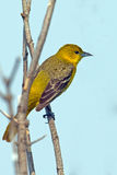 Female Orchard Oriole Royalty Free Stock Photo